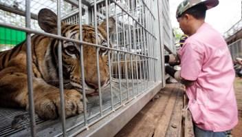 150 tigres tailandeses fueron rescatados y más de la mitad han muerto