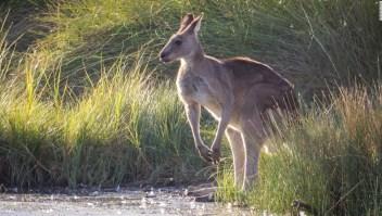 Canguros serán comida para mascotas en Australia