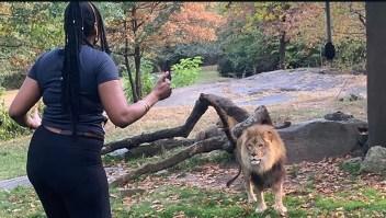 Una mujer ingresó al hábitat de un león en el zoo del Bronx