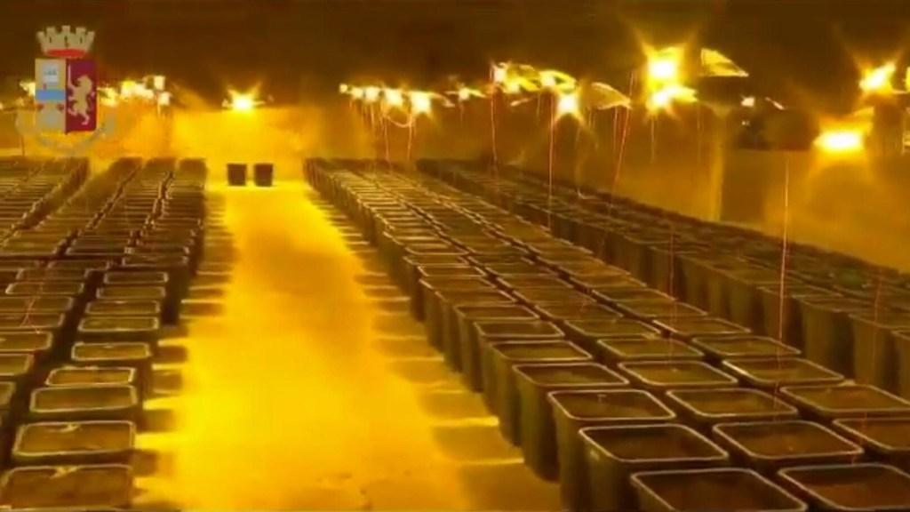 Escondieron una plantación de marihuana detrás de una ducha