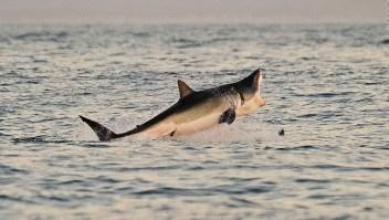¿Dónde está el gran tiburón blanco?
