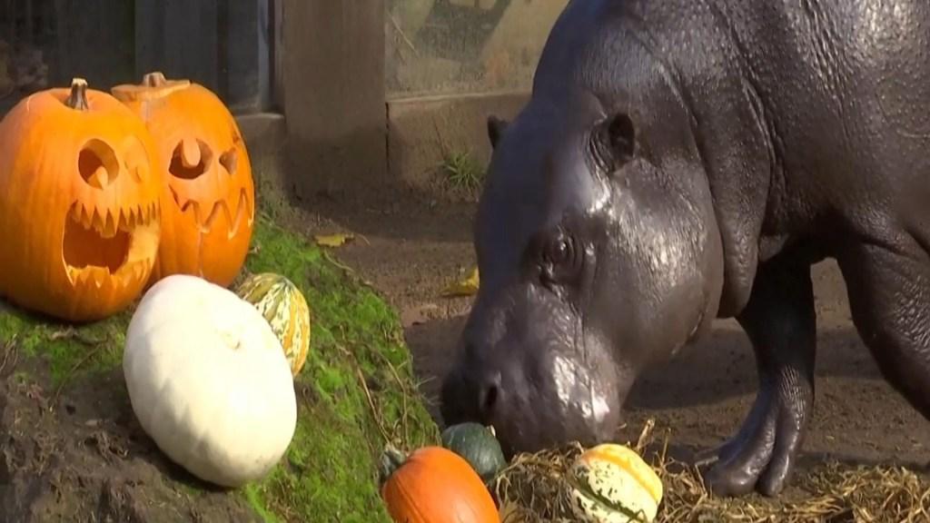 Animales de zoológico en Londres reciben golosinas de Halloween