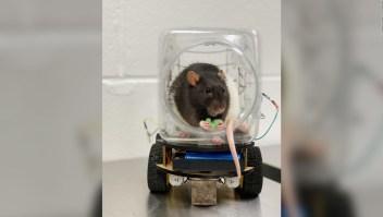 """Ratas """"conducen"""" vehículos en estudio sobre salud mental"""