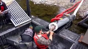 Un cañón para salvar salmones