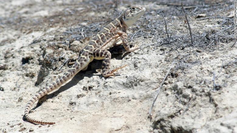 lagarto leopardo de narizo roma peligro de extincion reptiles