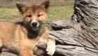 """Wandi, el cachorro """"milagro"""" de los conservacionistas"""