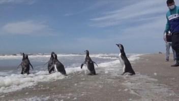 La tierna imagen de pingüinos que vuelven al mar