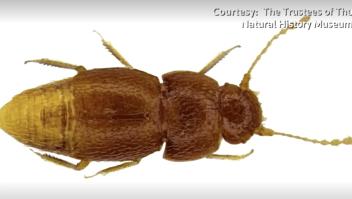 Este escarabajo fue bautizado como Greta Thunberg