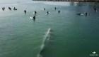 Una ballenas gigante nada justo debajo de unos surfistas
