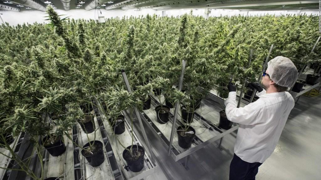 ¿Explotó la burbuja bursátil de la marihuana?