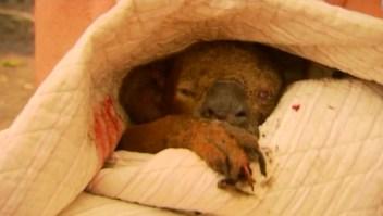 El koala Lewis muere una semana después de ser rescatado