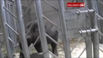 Elefantes capturados en Zimbabwe son vendidos a China