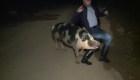 Reportero huye de un cerdo durante enlace en vivo