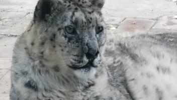 Un leopardo de las nieves fue operado de cataratas