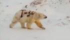 Expertos temen por la vida del oso polar pintado con graffiti