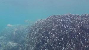 Arrecifes de coral se recuperan mediante uso de altavoces