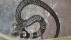 Serpiente de dos cabezas causa revuelo en India