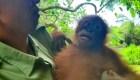 Así vuelve a la naturaleza un orangután rescatado
