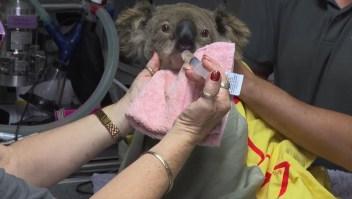 Hospital de koalas, desbordado por incendios