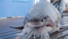 Rastrean un gran tiburón blanco en la costa de Miami
