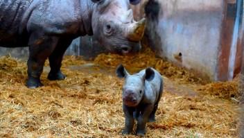 Pura ternura: nació un rinoceronte negro
