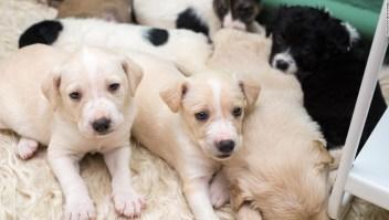 Cachorros podrían estar enfermando a la gente