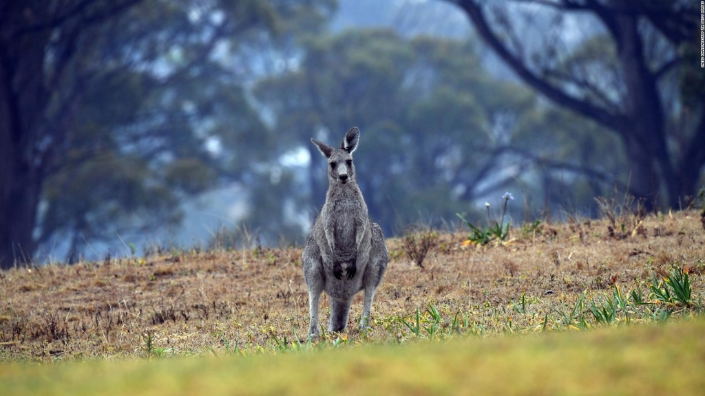 Incendios en Australia: Millones de animales muertos