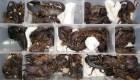 Hombre intenta viajar con 200 escorpiones vivos
