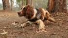 Taylor, la perra que ayuda a rescatar koalas