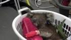 Los incendios en Isla Canguro arrasaron con los koalas