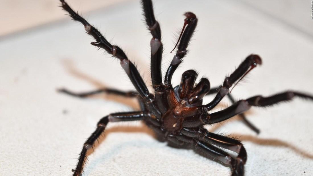 Alerta ante el aumento de arañas mortales en Australia