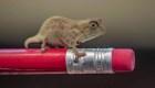 Camaleones del tamaño de la goma de borrar de un lápiz