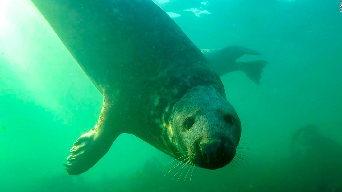 Graban por primera vez a una foca gris aplaudiendo