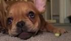 Bulldog francés tranquiliza niños con enfermedades terminales
