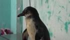Rescatan a dos pingüinos que una familia tenía como mascotas