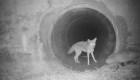 Amistad improbable entre coyote y tejón es viral