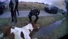 Así salvan policías a un caballo enredado en alambre