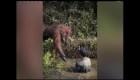 Oraguntán tiende una mano para 'salvar' a hombre de aguas con serpientes