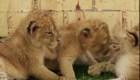Nacen tres cachorros de león en México