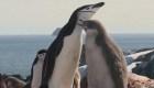 Pingüinos Barbijo disminuyen en un 77%