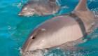 Dos delfines aparecieron muertos en Florida