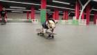 Sonya, el bulldog francés experta en la patineta