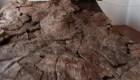América del Sur: descubren fósil de tortuga del tamaño de un automóvil