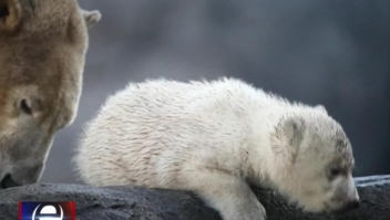 Cachorro de oso polar enternece a los espectadores en Viena