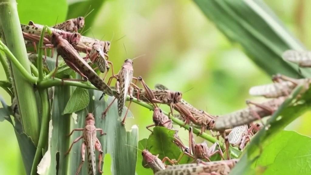 Plaga de langostas arrasa cultivos en África