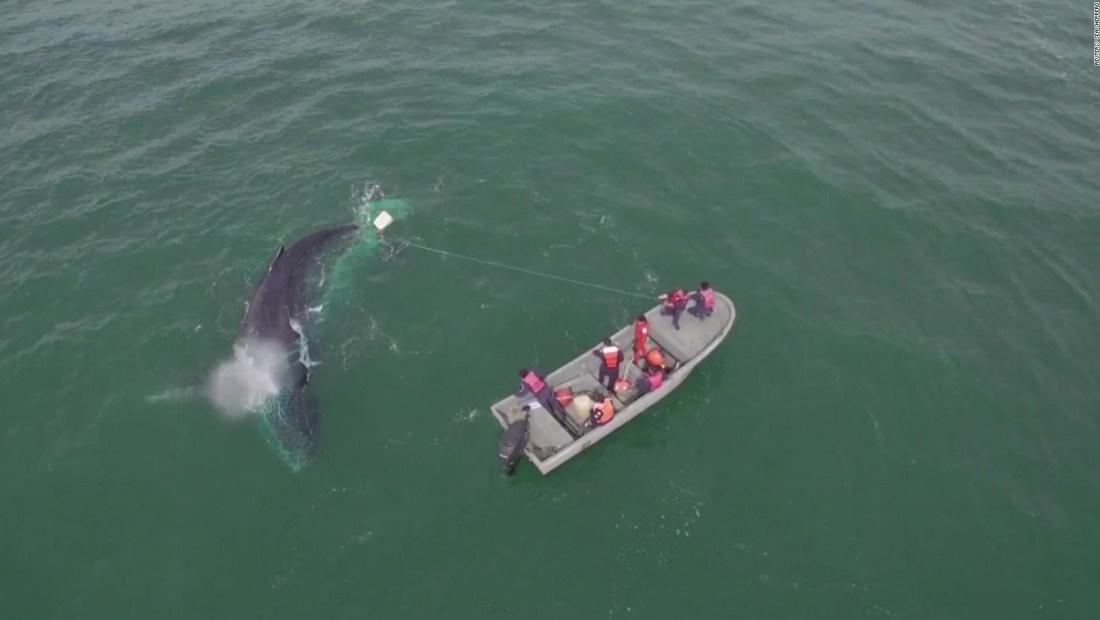 Rescatan ballena jorobada de redes de pesca ilegal en Baja California