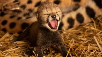 Nacen cachorros de guepardo concebidos in vitro