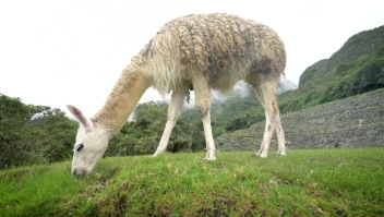Las increíbles llamas de Machu Picchu
