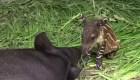 Nace una tapir, una especie en peligro de extinción