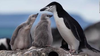 Algunas colonias de pingüinos antárticos han disminuido en más del 75% en 50 años.